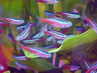 para pembudidaya breeder ikan hias neon tetra mengaku k
