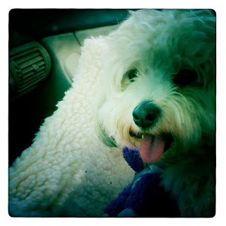 Havanese dog riding in car iPhone hipstamatic photography