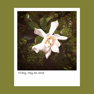 iPhone polaroid, gardenia