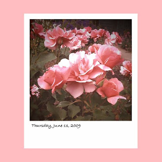iPhone polaroid, pink roses