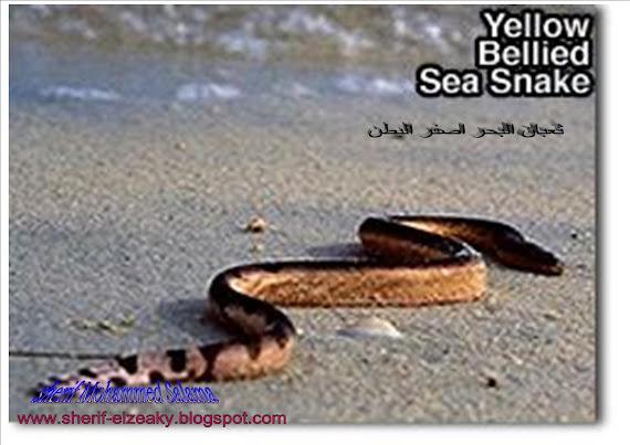 ثعبان البحر اصفر البطن