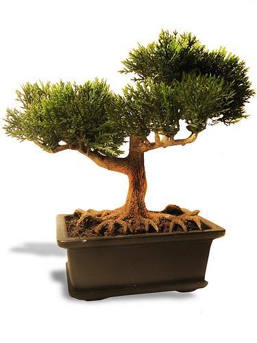 Viver ser feliz como cuidar de um bonsai - Como cuidar bonsais ...