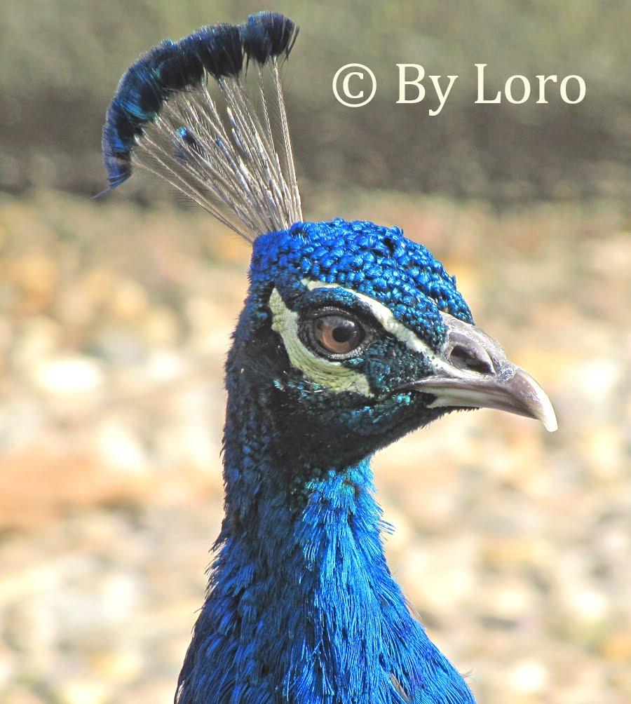 Fotos de aves by loro pavo real pavo cristatus - Fotos de un pavo real ...