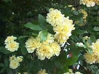 Banksian rose