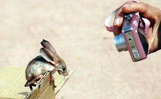 ratón jeroba de orejas largas