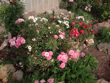 Colorful Miniature Roses in the Front Bed