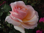 Lusciously Fragrant Lady Jane Grey