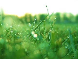 rumput hijau