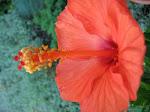 Red Hibiscus - Hibiscus rosu