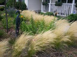 Frisky Pony Tail Grass