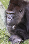 Animais Fotos - Primates - Gorilla think on... Moments of wisdom - Fotografia de animais selvagens