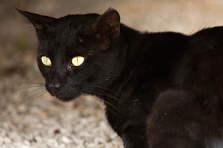 Big Cats - Black Cat on wildlife photo and Animal Pictures- 2387