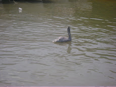 Pelicano en la cienaga