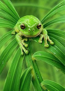 INDAY BAKI sa CALLE OTSO - DJmellowgold Demo Only 2763328-3-australian-green-frog