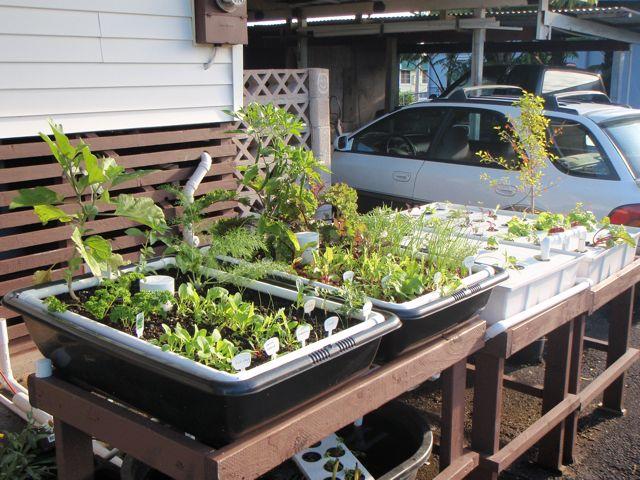 Joan goes green joan 39 s aquaponic setup for Aquaponics hawaii