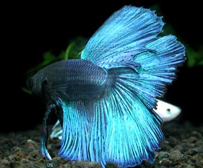 Sick betta fish betta fish feeding tips for Sick betta fish
