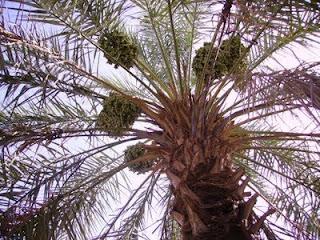 Kisah Seorang Sahabat Yang Rela Menukar Kebunnya Dengan Satu Pohon Kurma