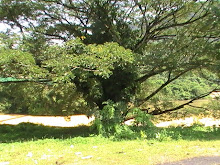 tree, a lonely lady in sg lembing2009