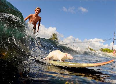 rat surfing