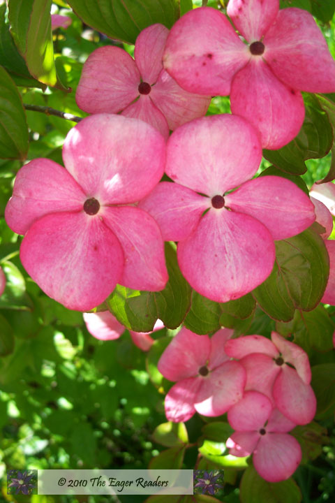 Types Of Dogwood Trees