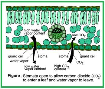 pada ict fotosintesis reaksi via mobile biologia xd fotosintesis gerak