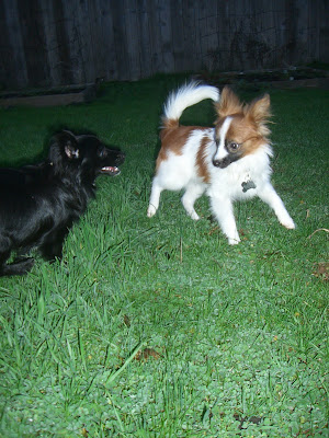 Remy and Diego playing. Remy is running at Diego and three of Diego's feet are off the ground
