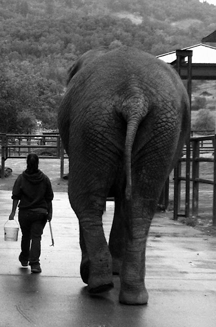 This photo is in black and white and George is a 10 foot 2 or 3 inch tall african elephant. We are walking away from the camera on a cement pad with huge elephant size fencing around us. I'm 5 foot 3 inches and am carrying a bucket of food and an bull hook (a stick with two metal points at the end, one straight and one curved)