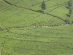 The vast tea plantations