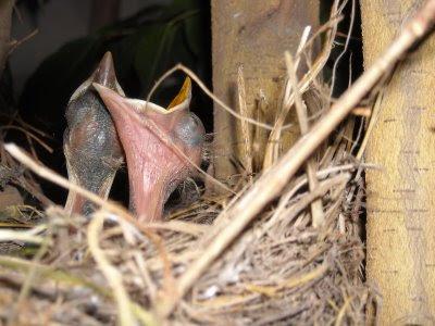 mirlos, dia 5, los polluelos crecen y reclaman comida