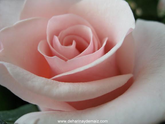 una-rosa-de-cumpleaños