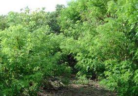 pohon Gamal