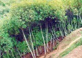 pohon Kina