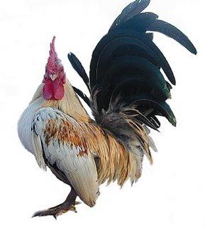 ternak Ayam Serama