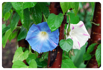 Ipomoea tricolor 'Heavenly Blue' 'Milky Way' + Prunus serrula
