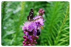 Fjärilar i min trädgård