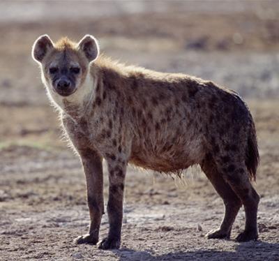 http://4.bp.blogspot.com/_4Q1FK1yC0nM/TUqZoOT-nrI/AAAAAAAAADM/XGfPm0HYDMI/s1600/hyena.jpg