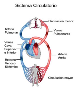 APIINotes5 20Circulatory 20Anatomy in addition File Risks form smoking Smoking can damage every part of the body besides The Male And Female Reproductive Systems in addition Lymphatic System Drainage 1282 moreover File 2115 Vascular Homeostasis Flow Art. on blood circulatory system diagram pdf