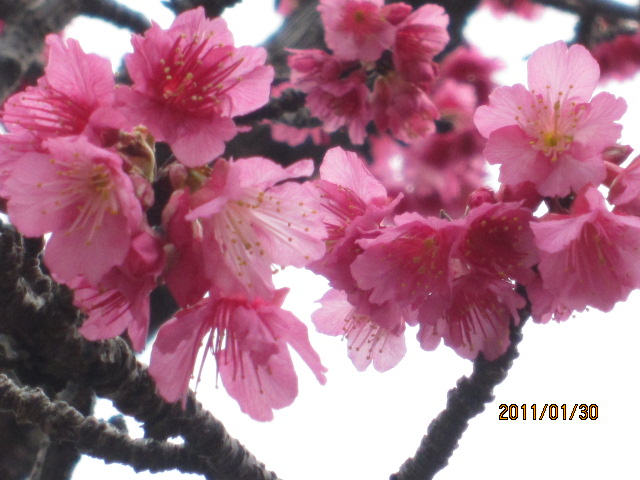 cherry tree blossom festival. cherry tree blossom festival.
