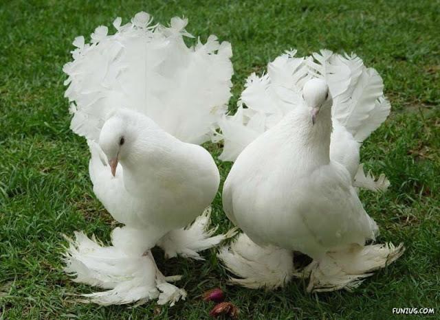 Royal Pigeons photos