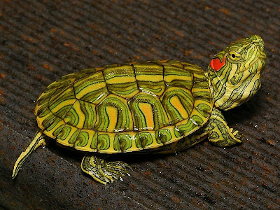 how to tell baby red eared slider gender