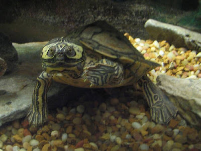Barbour's Map Turtle, Graptemys barbouri