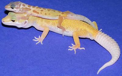 es reproducteurs gecko léopard - éleveur passionné