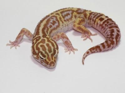 Fases de E. Macularius (Gecko Leopardo) Gem+Snow+Tremper+Albino