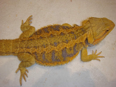 Citrus tiger bearded dragon - photo#4