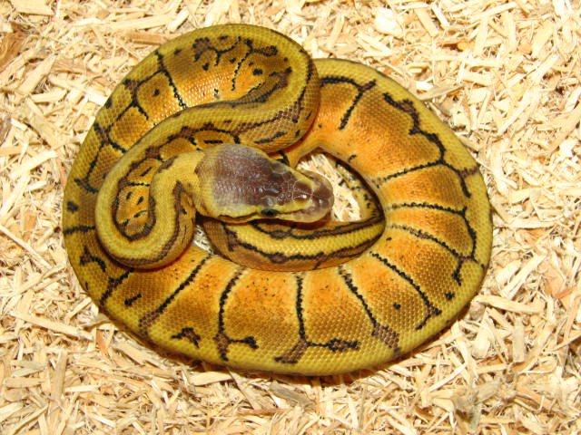 ball python morphs all about snake world snake tattoo design. Black Bedroom Furniture Sets. Home Design Ideas