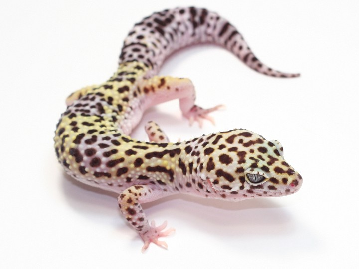 how to tell if your leopard gecko is dying