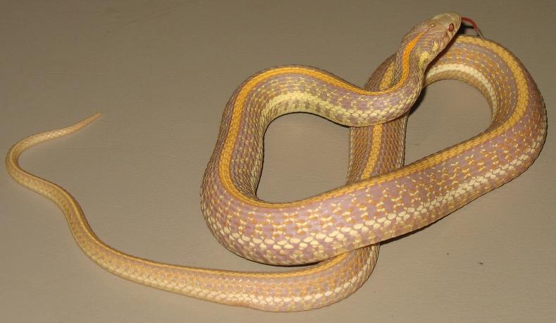 Photo From Garter Snake Morph 2011