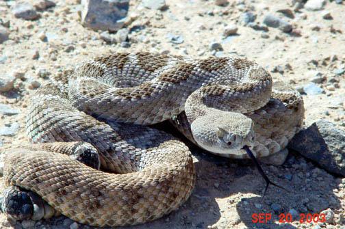 http://4.bp.blogspot.com/_4VXrkZe4WmU/TQU0lzwu-MI/AAAAAAAALDE/RMKxLICBwzY/s1600/Western+Diamondback+rattlesnake+-+Crotalus+atrox.jpg