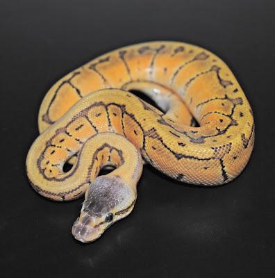 dangerous snakes ball python snake. Black Bedroom Furniture Sets. Home Design Ideas