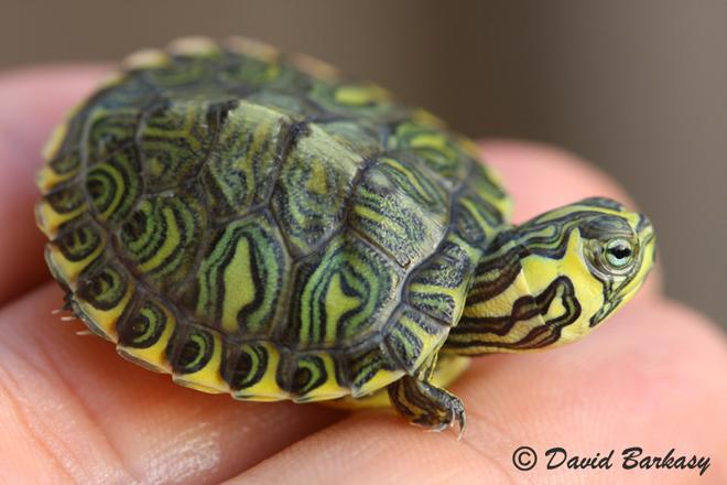 Tartarughe d 39 acqua la trachemys for Acqua tartarughe